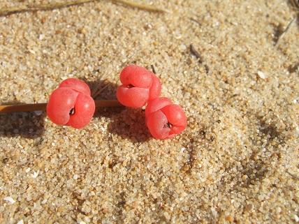 Ephedra distachya - raisin de mer Dscf7228