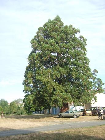 Sequoiadendron giganteum - séquoia géant - Page 3 Dscf7229