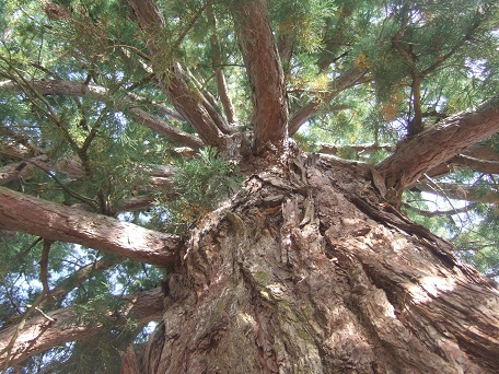 Sequoiadendron giganteum - séquoia géant - Page 3 Dscf7230