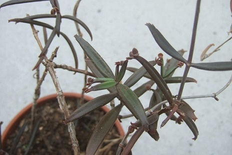 Bryophyllum beauverdii (= Kalanchoe beauverdii) Dscf7414