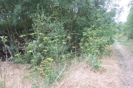 pastinaca - Pastinaca sativa - panais commun Dscf7415