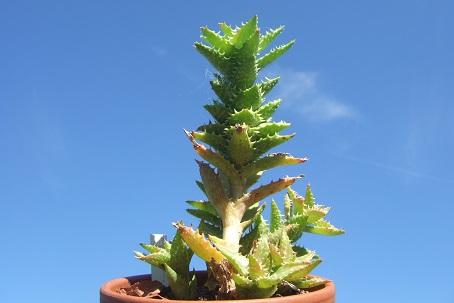 Aloe juvenna - Page 2 Dscf7422
