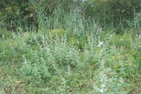 Althaea officinalis - guimauve officinale Dscf7436