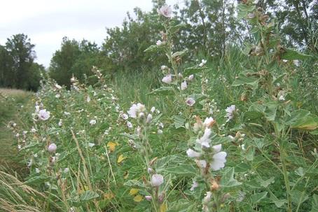 Althaea officinalis - guimauve officinale Dscf7437