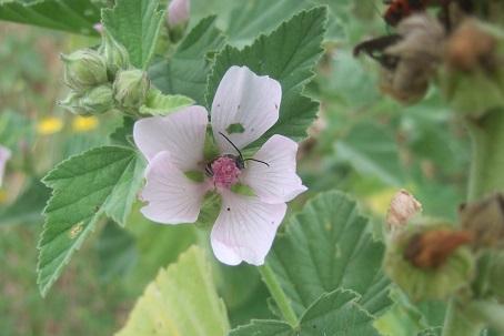 Althaea officinalis - guimauve officinale Dscf7438