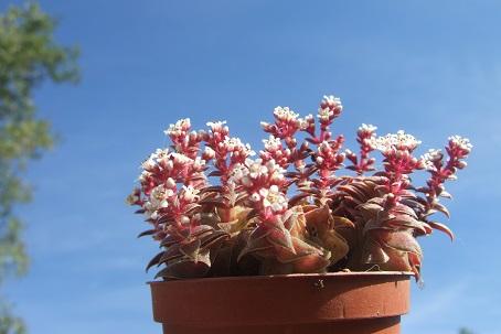 Crassula exilis subsp. picturata Dscf7514