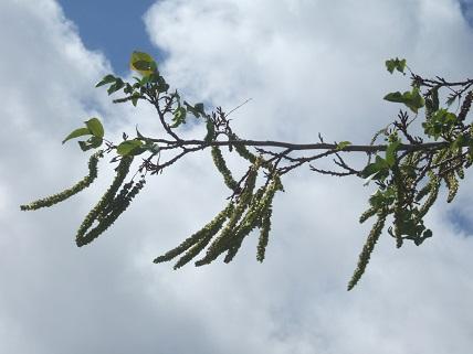 Pterocarya caucasica Dscf7613