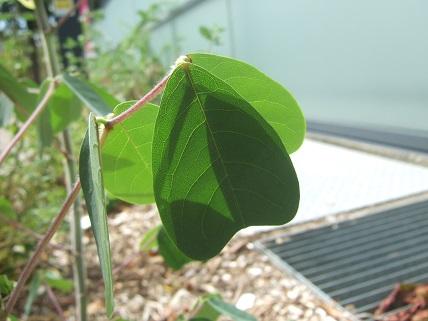 Amicia zygomeris  Dscf7622