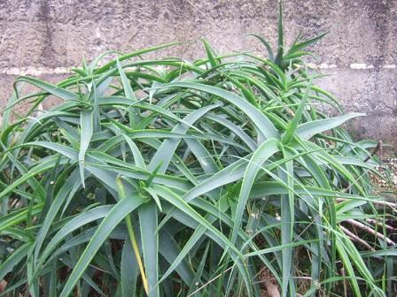 Aloe striatula Dscf8410