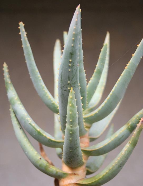 Aloidendron dichotomum (= Aloe dichotoma) Img_0015