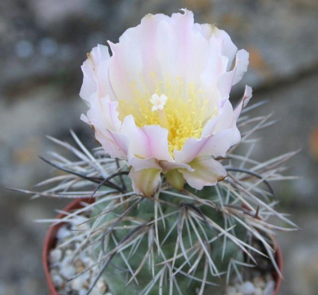 Tephrocactus alexanderi Img_0113