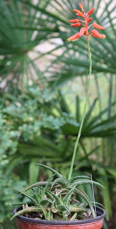 Aloe x 'Firebird' Img_0117
