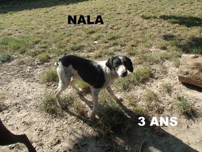NALA croisée Epagneul  8 ans  (5 ans de refuge)  -  SPA LE RAMIER DE MONTAUBAN  (82) 16fafd10