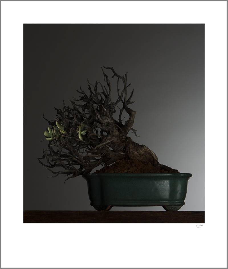Stoeberia arborea, the Tree Mesemb Jac10