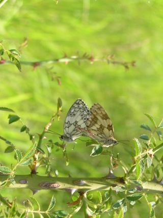 Nos amis les papillons (symbolique) P6220111