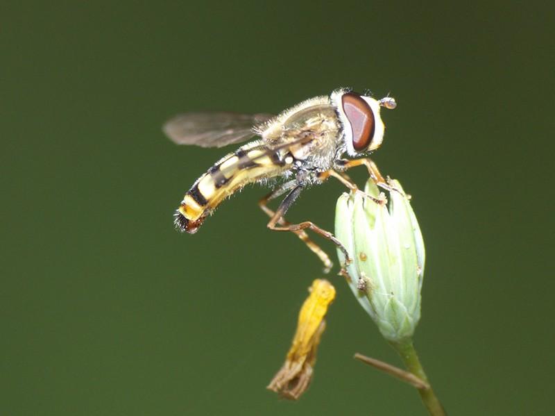 [Eupeodes corollae] Syrphe aux yeux rouges P1050812