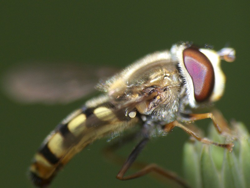 [Eupeodes corollae] Syrphe aux yeux rouges P1050813