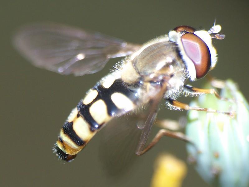 [Eupeodes corollae] Syrphe aux yeux rouges P1050814