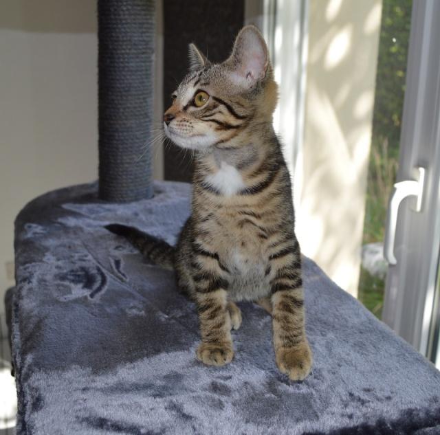 LUIGI, chaton  Tabby beige, né le 01/06/2015 Ds_cop10