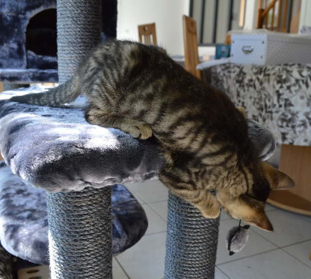 LUIGI, chaton  Tabby beige, né le 01/06/2015 Ds_cop14