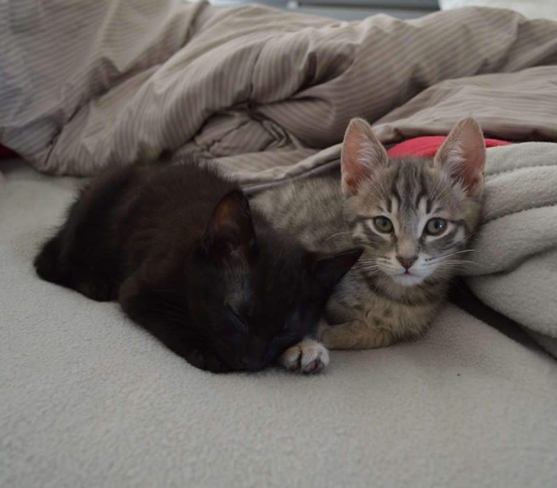 LEWIS, chaton noir, né le 06/05/15 Dsc_0034
