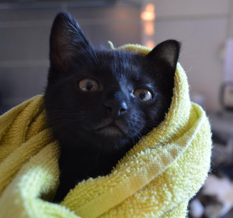 LEWIS, chaton noir, né le 06/05/15 Dsc_0036