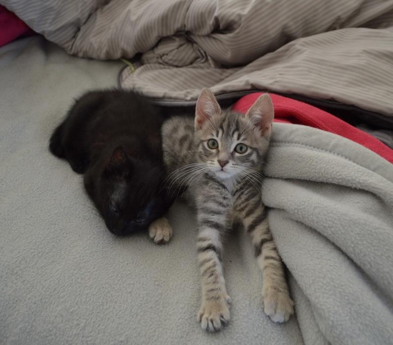 loustic - LOUSTIC, chaton Tabby gris clair et crème, né le 06/05/15 Dsc_0038