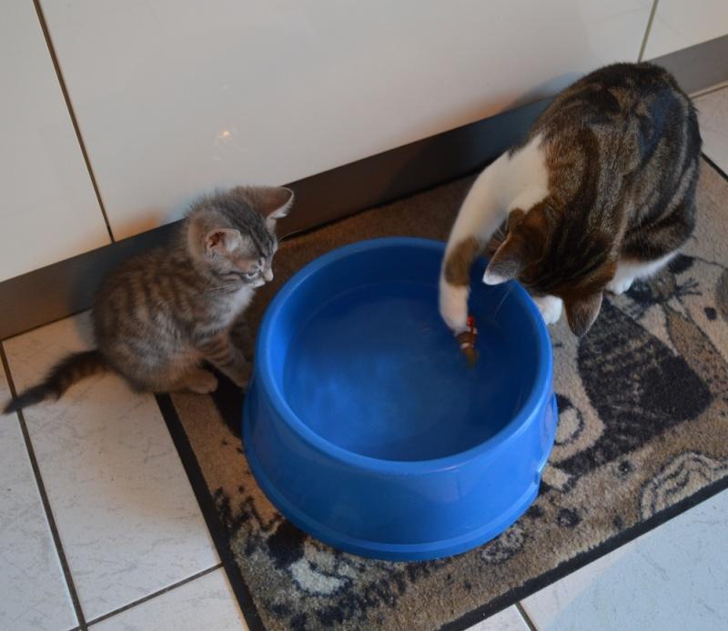 loustic - LOUSTIC, chaton Tabby gris clair et crème, né le 06/05/15 Dsc_0039