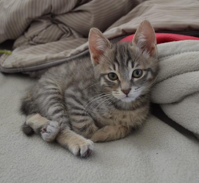 loustic - LOUSTIC, chaton Tabby gris clair et crème, né le 06/05/15 Dsc_0040
