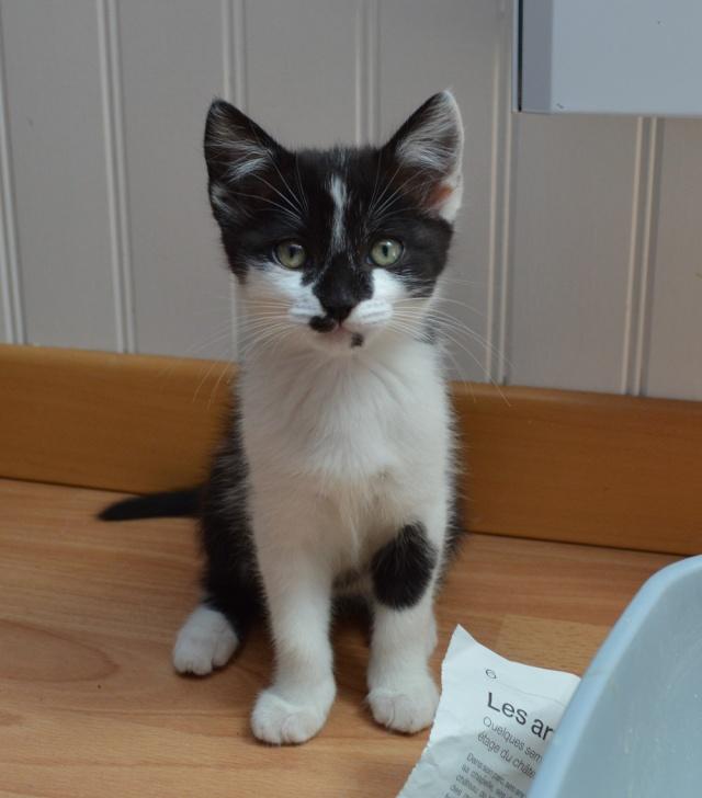 LASCAR chaton noir et blanc, né le 01/06/2015 Dsc_0052