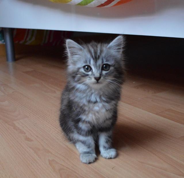 louna - LOUNA, chatonne tigrée claire, née le 01/06/2015 Dsc_0062