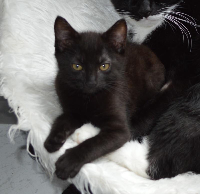 LEWIS, chaton noir, né le 06/05/15 Dsc_0069