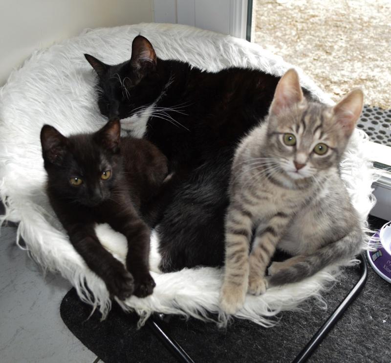 LEWIS, chaton noir, né le 06/05/15 Dsc_0070