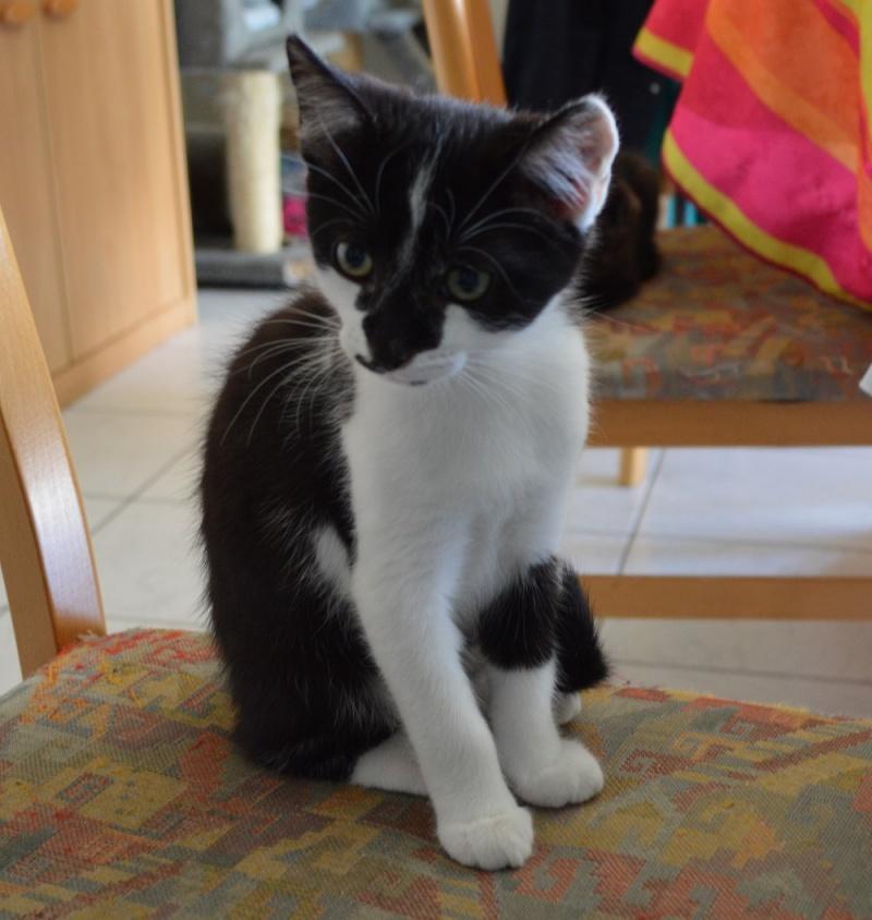 LASCAR chaton noir et blanc, né le 01/06/2015 Dsc_0074