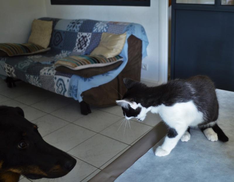 LASCAR chaton noir et blanc, né le 01/06/2015 Dsc_0076