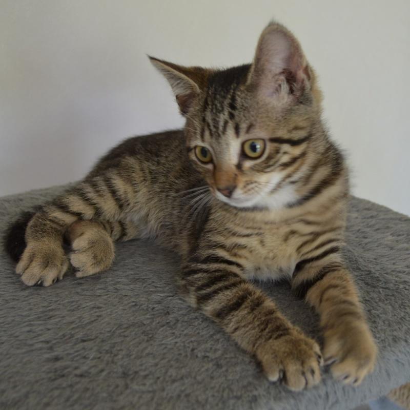 LUIGI, chaton  Tabby beige, né le 01/06/2015 Dsc_0078