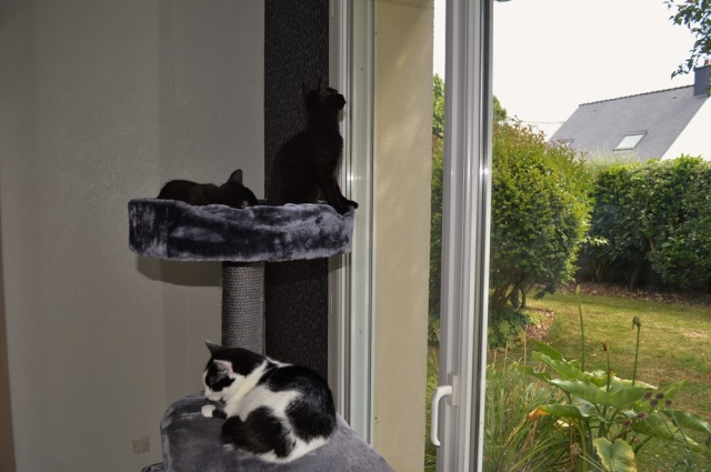 LEWIS, chaton noir, né le 06/05/15 Dsc_0085