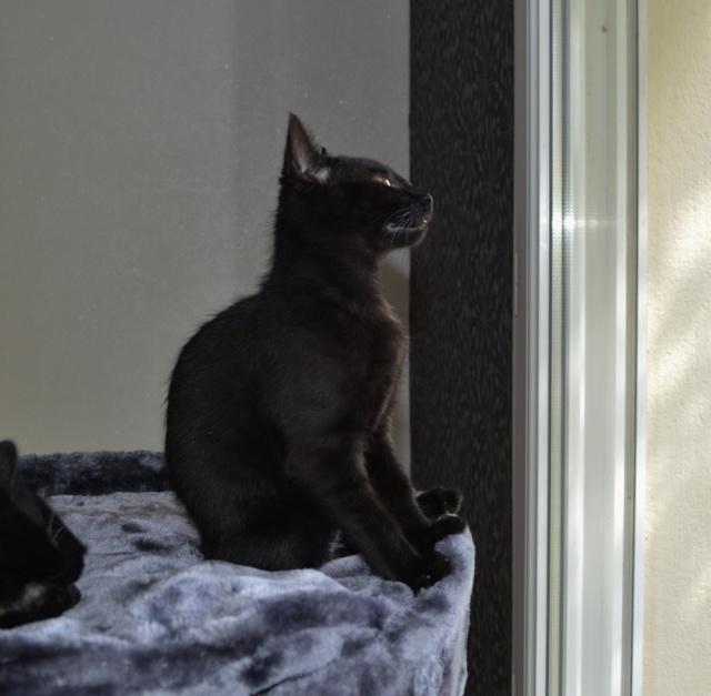 LEWIS, chaton noir, né le 06/05/15 Dsc_0086