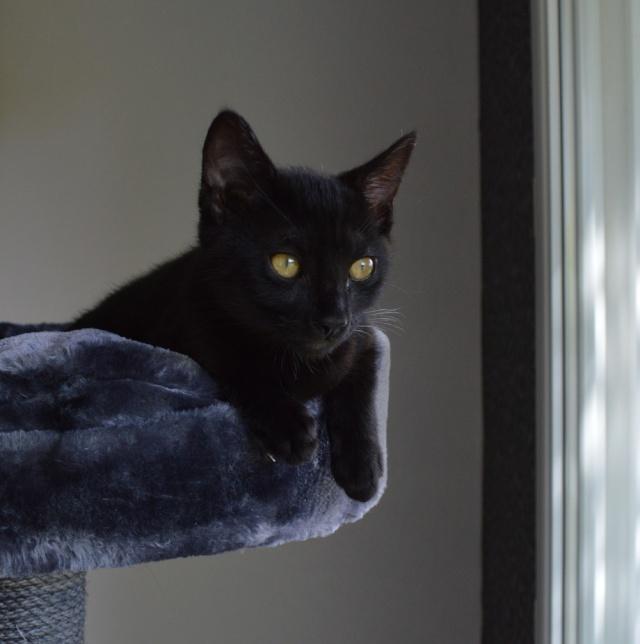 LEWIS, chaton noir, né le 06/05/15 Dsc_0087