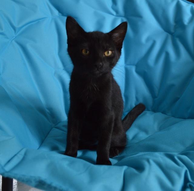 LEWIS, chaton noir, né le 06/05/15 Dsc_0088