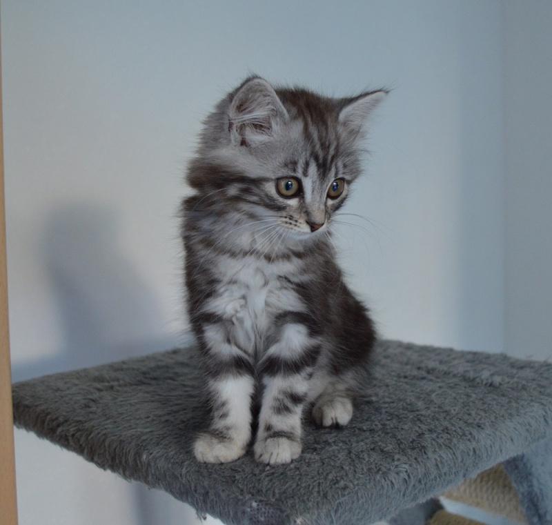 louna - LOUNA, chatonne tigrée claire, née le 01/06/2015 Louna10