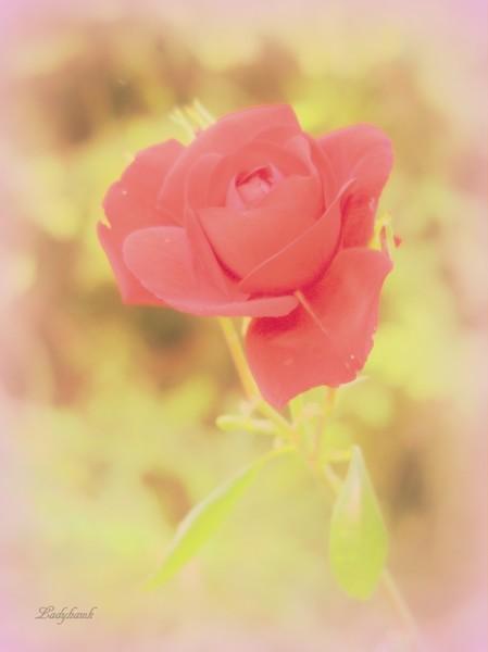 la rose  Img_0811