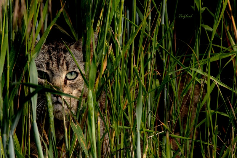 le chat sauvage Img_1610