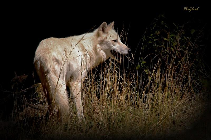 le loup blanc Img_4410