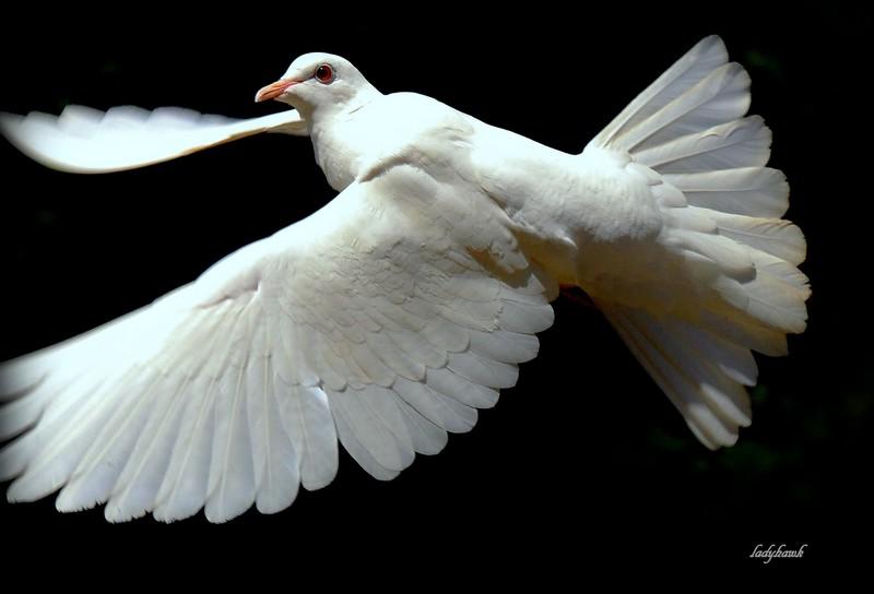 la colombe de la paix Img_4610