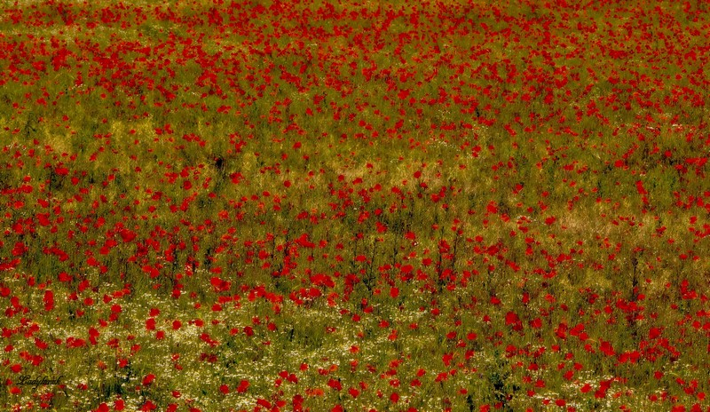 mes coquelicots Img_9711