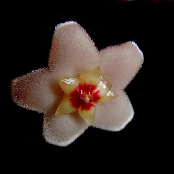 fleur de porcelaine P7210010