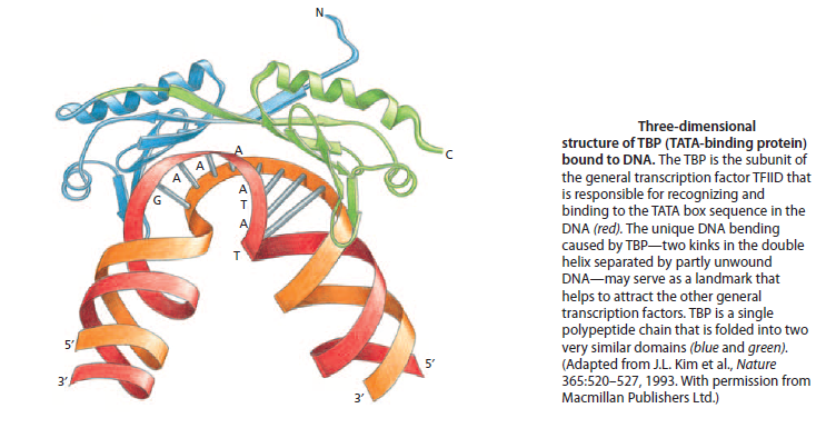 The complexity of  transcription through RNA polymerase enzymes  and general transcription factors in eukaryotes 00000010