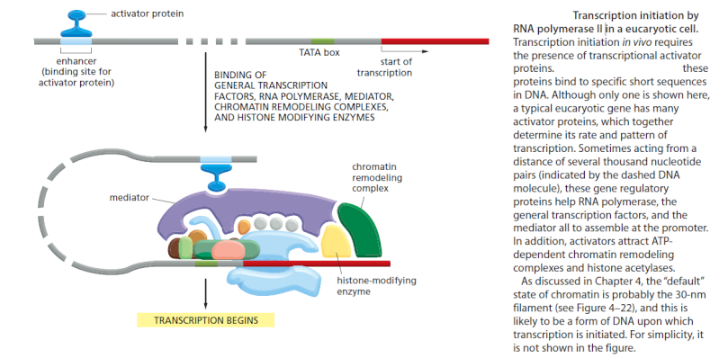 The complexity of  transcription through RNA polymerase enzymes  and general transcription factors in eukaryotes 00000013