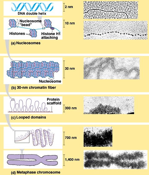 The amazing organisation and design of DNA, genomes, histones, nucleosomes chromosomes 19_1_510